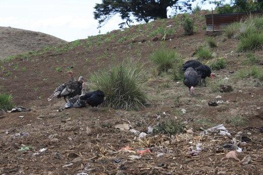 Hike to Lago de Atitlan - turkeys in a Mayan village!