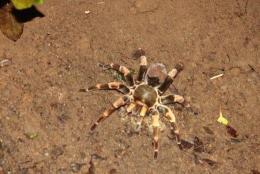 Tarantula! Damn nature, you scary