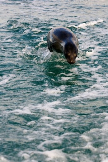 Sea lion shows off its speed in a game of chasey with the zodiac
