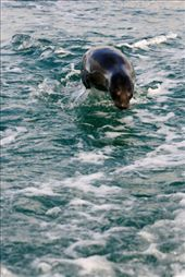Sea lion shows off its speed in a game of chasey with the zodiac: by elis82, Views[220]