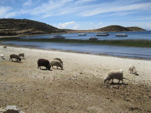 Sheep graze at the edge of Lake Titicaca