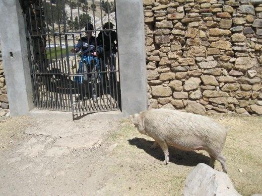 Standoff: pig versus gringos.