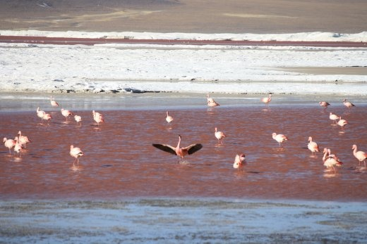 Flamingoes in Lago Rojo