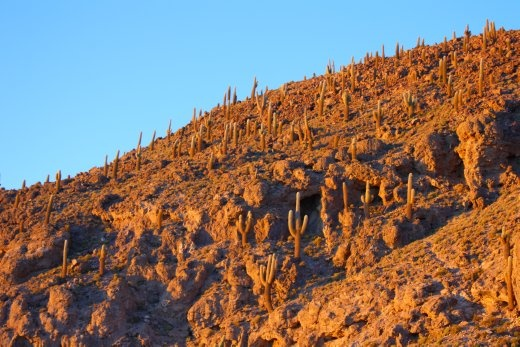 Cacti in the morning light