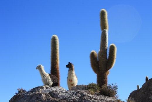 Llamas and cacti
