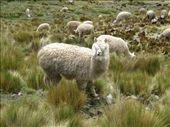 Wool-blinded alpaca, you look silly: by elis82, Views[245]
