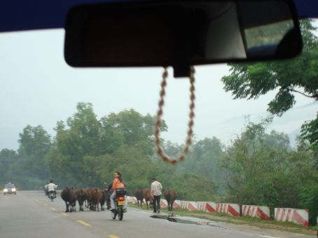 Crazy China drivers!  And cows in the middle of the road!
