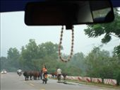 Crazy China drivers!  And cows in the middle of the road!: by ellen, Views[276]