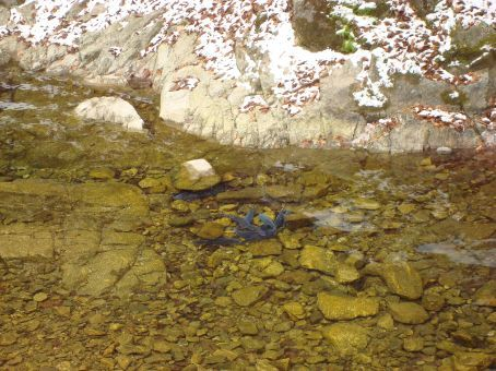 Blue fish in the partly frozen river...interesting...