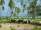 Cows and coconut palms: by ellij, Views[245]