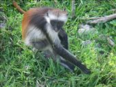 The endangered Red Colobus monkey.: by ellij, Views[255]