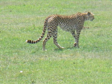 Cheetah (chui) in Ngorongoro Crater