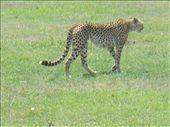 Cheetah (chui) in Ngorongoro Crater: by ellij, Views[339]