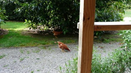 The chooks (chickens) roam free