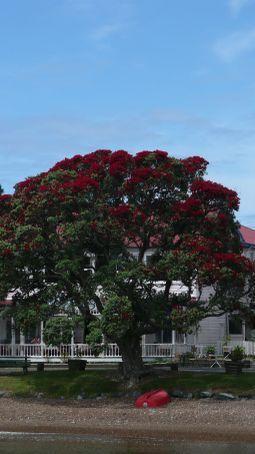 The Christmas tree of NZ