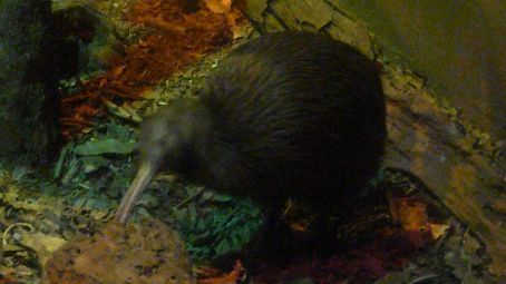 Kiwi again, poor photo due to NO FLASH being used