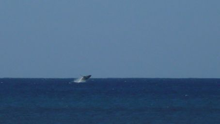 Whale from the Pipeline beach on North Shore