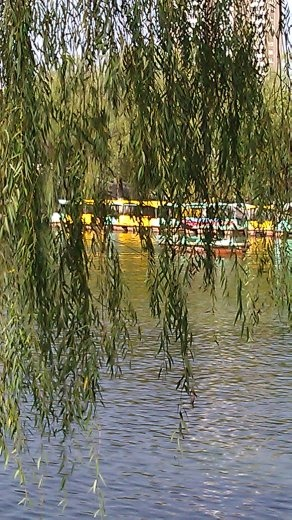 Weeping willow at People's Park