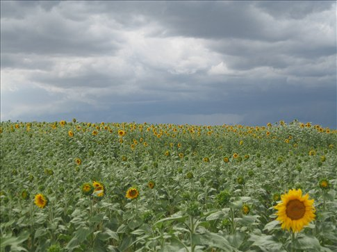 sunflowers before a storm