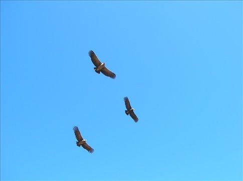More condors!