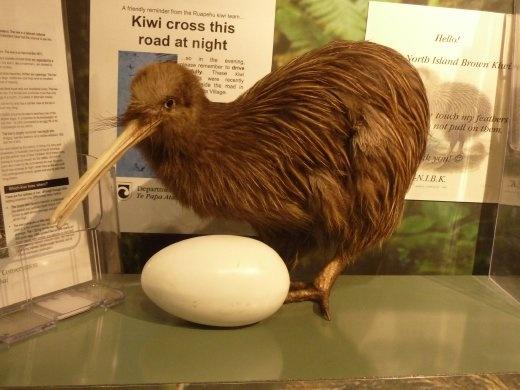 Un kiwi empaillé au cas ou j'en vois pas un vrai...