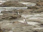Et la tout bonnement...les papa penguins revenaient a la maison apres une longue journee de peche pour rapporter la nourriture aux nouveaux-nes...enfait ils mangent ce qu'ils pechent et regurgitent le tout aux bebes le soir un coup rendus a la maison!!! hmmmmmmmmmmmmm!: by emilpeace, Views[152]