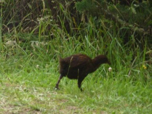 un weka...oiseau qui ne vole pas natif de la NZ