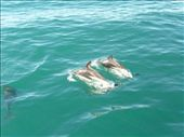 Swimming with dolphins in Kaikoura (south island): by emily_zitcer, Views[109]