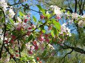 Tree flower buds in the Public Garden: by emilymason, Views[196]
