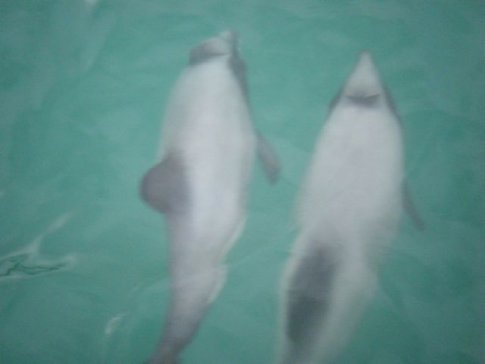 A pair of Hector Dolphins
