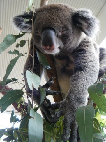 Koalas must be one of the cutest animals around :-)