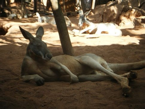Funny kangaroo, laying about as a greek god