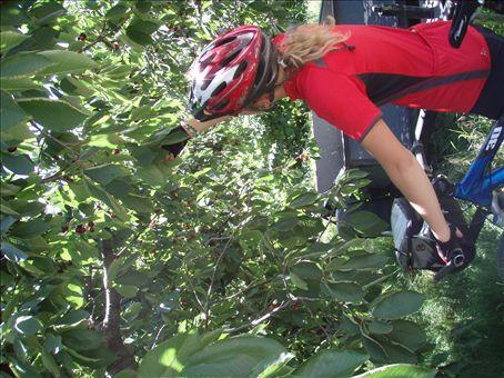 Yummie cherries in the Okanagan!