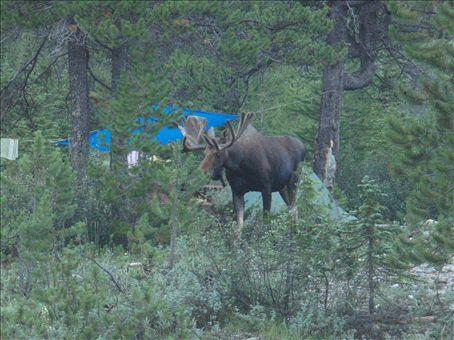 Warning! Moose running through the campgrounds!