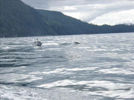 The Dolphins chasing the Zodiac boat on our way back