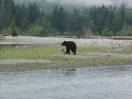 A black bear carrying some fish on the beach, seen from one of the ferries.