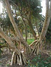 Joe calls this a P____ tree: by emmaroo, Views[108]