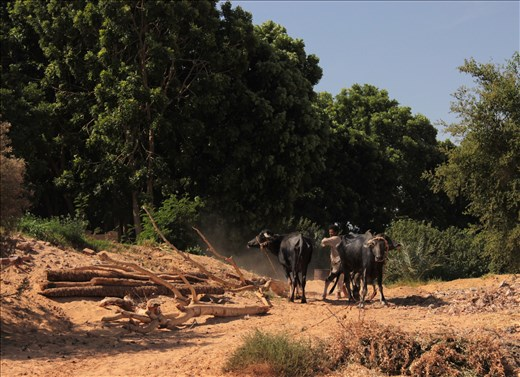 The Nubian farmer taming the buffalos to plow the ground like there ancient ancestors.