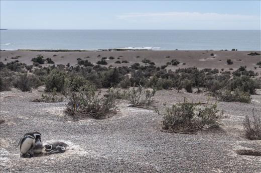 Penguins - Peninsula Valdes - Argentina 2013