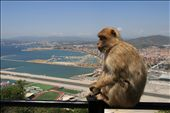 Gibraltar - trip from Lisbon to Spain and Gibraltar, Barbary macaque, may 2013: by erasmus, Views[445]
