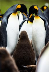 Intimate: Two king penguins dote on their chick.: by ericlewphoto, Views[251]