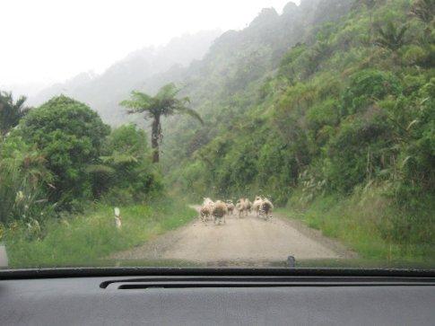The sheep on our one-way road through Karamea.