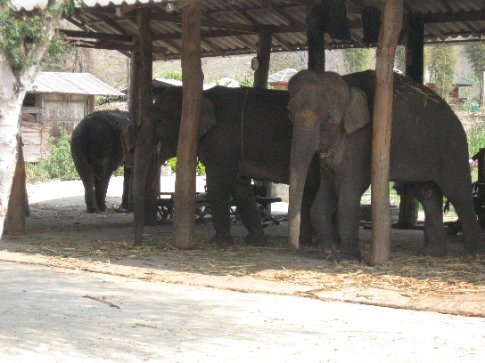 These are trekking elephants in Pai.  Notice they are chained up without food for grazing.