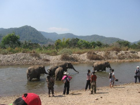At bathing time the mahouts lead the elephants to the water