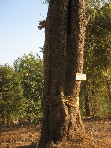 The fabric on this tree is blessed by a monk and anyone who cuts the tree down will have bad luck