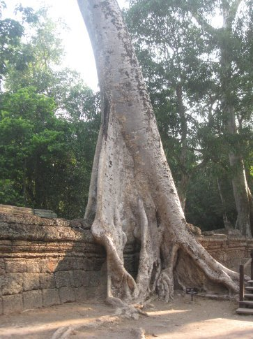 Trees taking over Angkor Thom