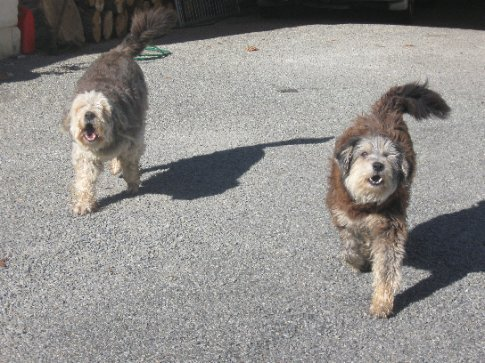 Benny and Bella, the Meroitis dogs