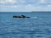 A southern right whale in the distance: by escape_artist, Views[196]