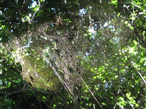Massive spider webs.