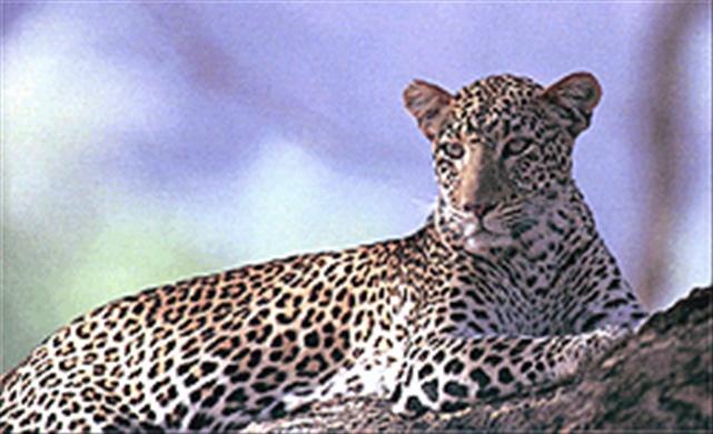Leopard,  Omo National Park,  Ethiopia